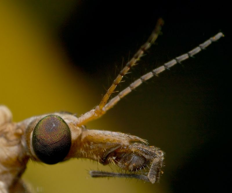 Crane Fly Profile, reversed 28 lens